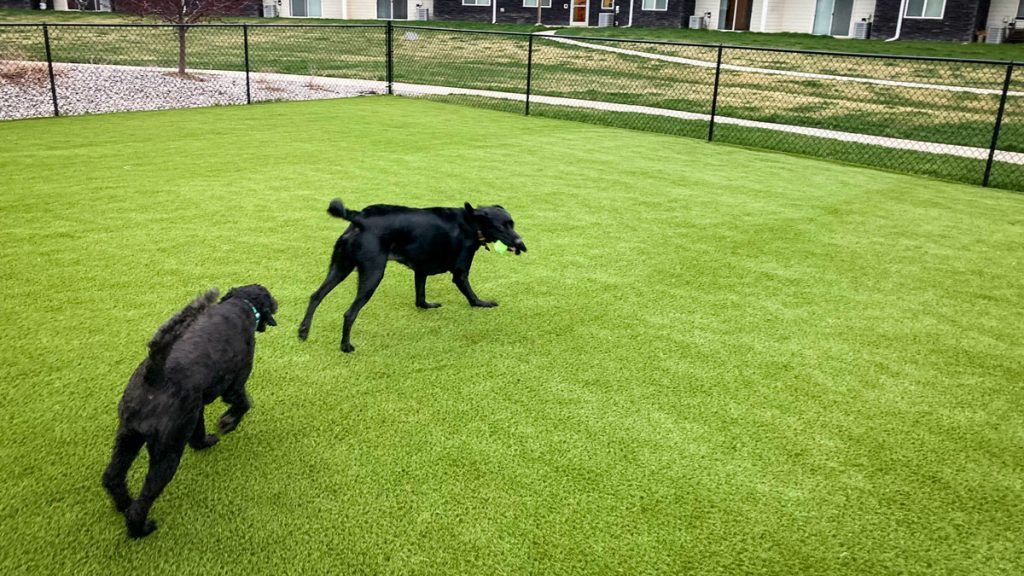 Two canine residents enjoying playtime on Greystone Apartments' new artificial turf.